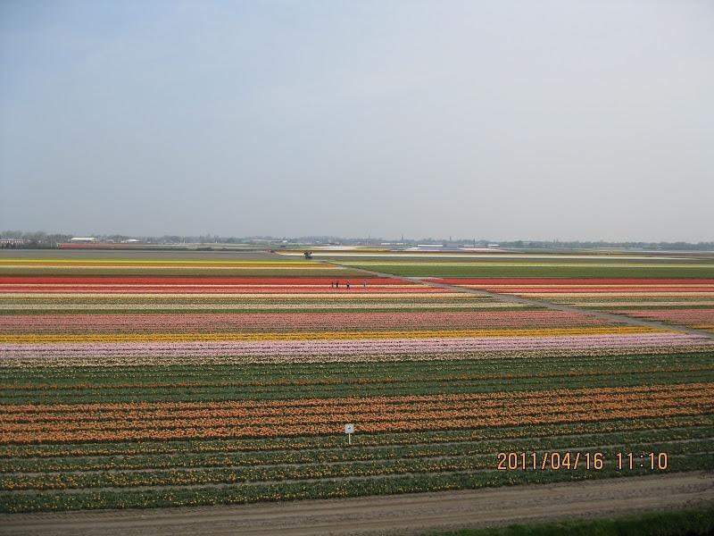Keukenhof-tulip (10)