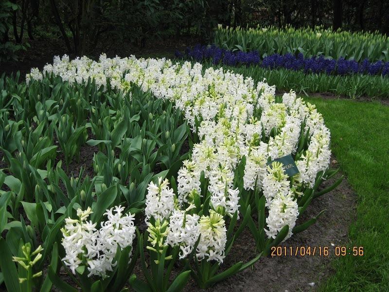 Keukenhof-tulip (2)