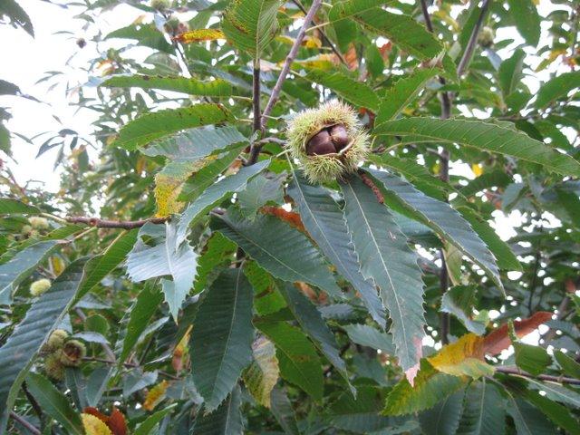 magnel-lab-chestnut-2011 (8)